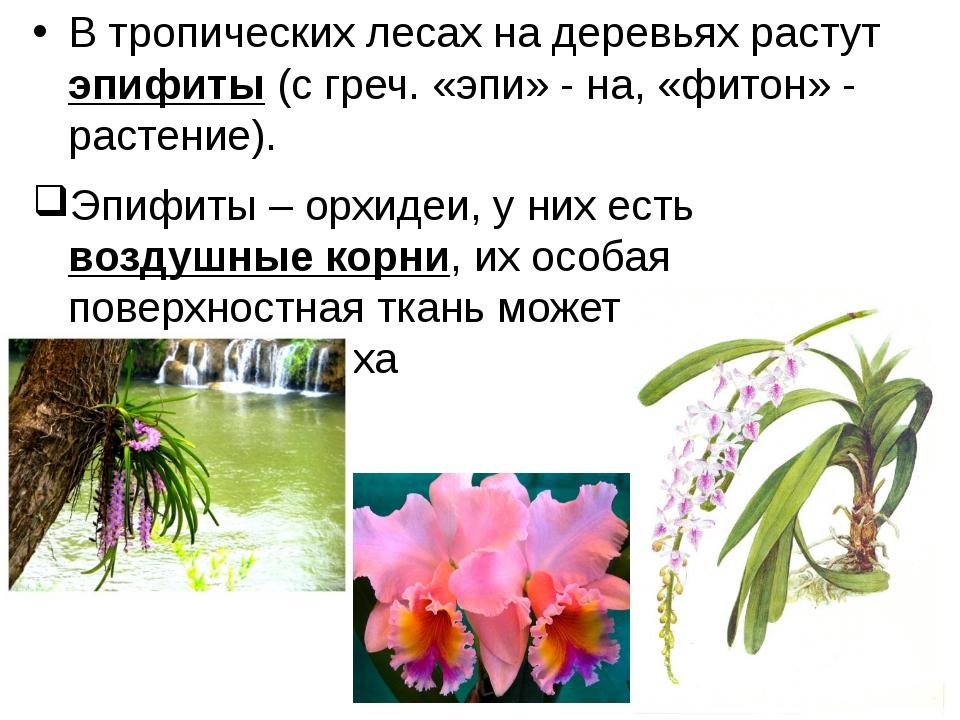 В тропических лесах на деревьях растут эпифиты (с греч. «эпи» - на, «фитон» -...