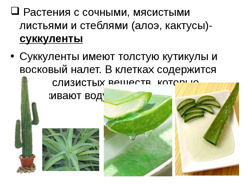 Растения с сочными, мясистыми листьями и стеблями (алоэ, кактусы)- суккулент...