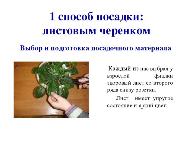 1 способ посадки: листовым черенком Каждый из нас выбрал у взрослой фиалки з...