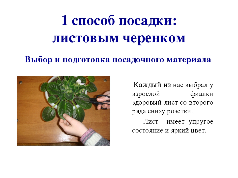 Выращивание фиалки презентация 46