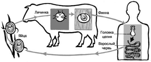 http://vmede.org/sait/content/Biologiya_4ebishev_grinev_2010/img/3688.jpg