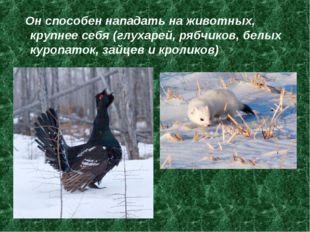 Он способен нападать на животных, крупнее себя (глухарей, рябчиков, белых ку