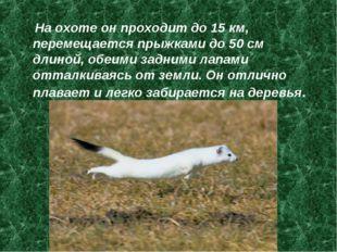 На охоте он проходит до 15 км, перемещается прыжками до 50 см длиной, обеими