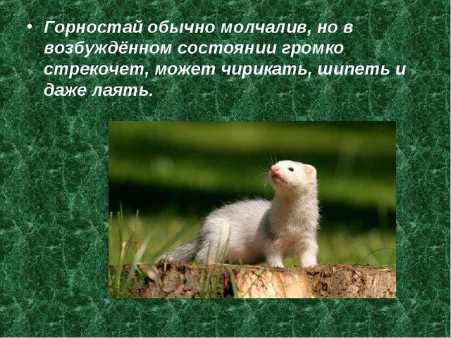Горностай обычно молчалив, но в возбуждённом состоянии громко стрекочет, може...