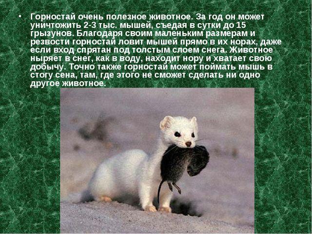 Горностай очень полезное животное. За год он может уничтожить 2-3 тыс. мышей,...