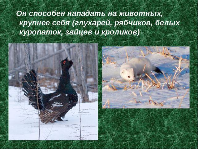 Он способен нападать на животных, крупнее себя (глухарей, рябчиков, белых ку...