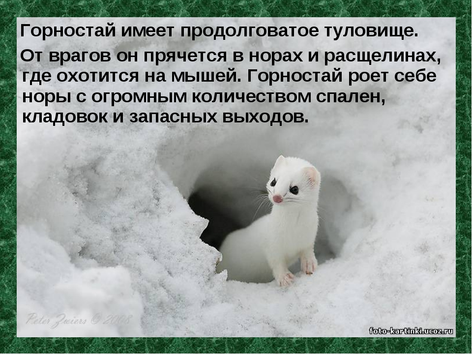 Горностай имеет продолговатое туловище. От врагов он прячется в норах и расщ...
