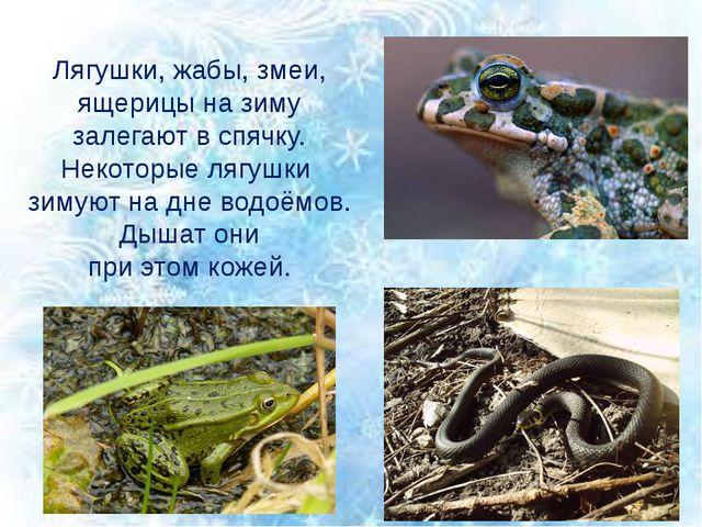 Лягушки, жабы, змеи, ящерицы на зиму залегают в спячку. Некоторые лягушки зим...