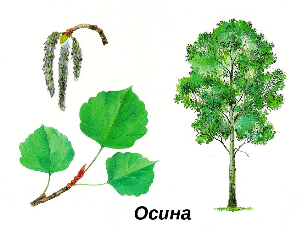 Картинки старшая группа деревья, для девушки