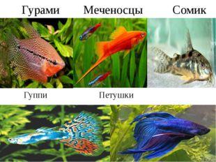 Гурами Меченосцы Сомик Гуппи Петушки