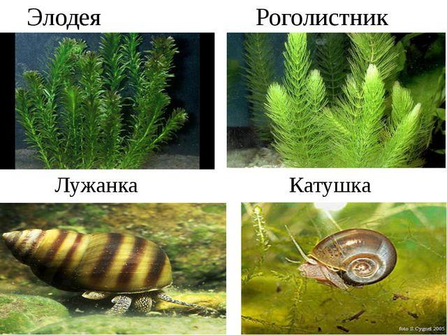 Элодея Роголистник Лужанка Катушка