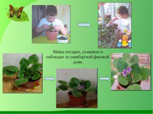 Миша посадил, ухаживал и наблюдал за узамбарской фиалкой дома