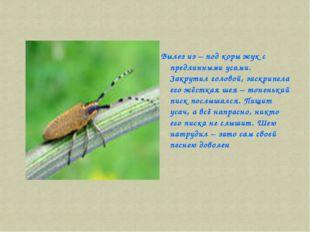 Вылез из – под коры жук с предлинными усами. Закрутил головой, заскрипела его