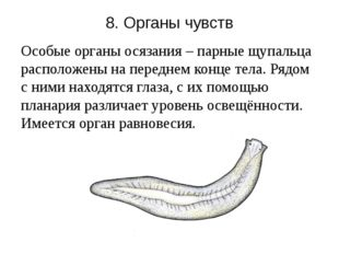 8. Органы чувств Особые органы осязания – парные щупальца расположены на пере