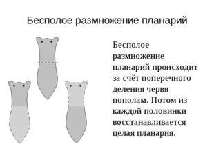 Бесполое размножение планарий Бесполое размножение планарий происходит за счё