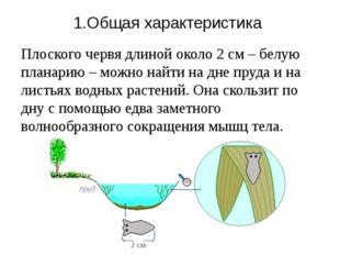 1.Общая характеристика Плоского червя длиной около 2см – белую планарию – мо