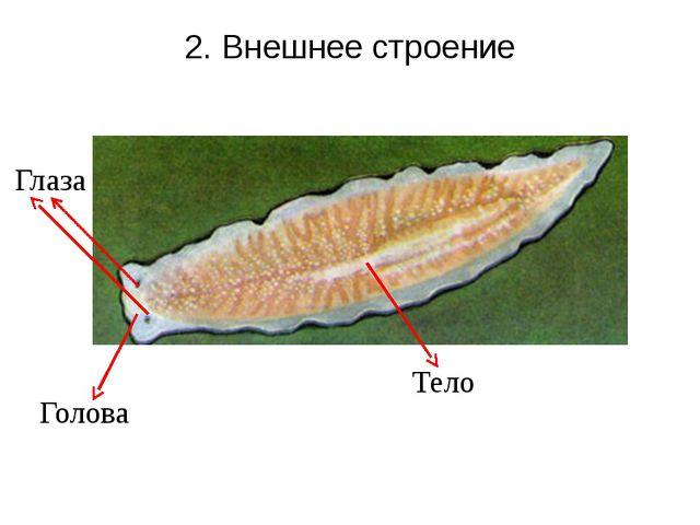 2. Внешнее строение Голова Глаза Тело