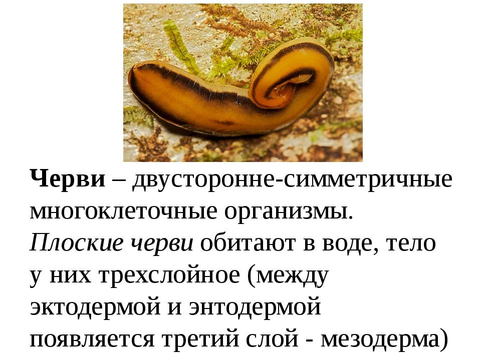 Черви – двусторонне-симметричные многоклеточные организмы. Плоские черви оби...