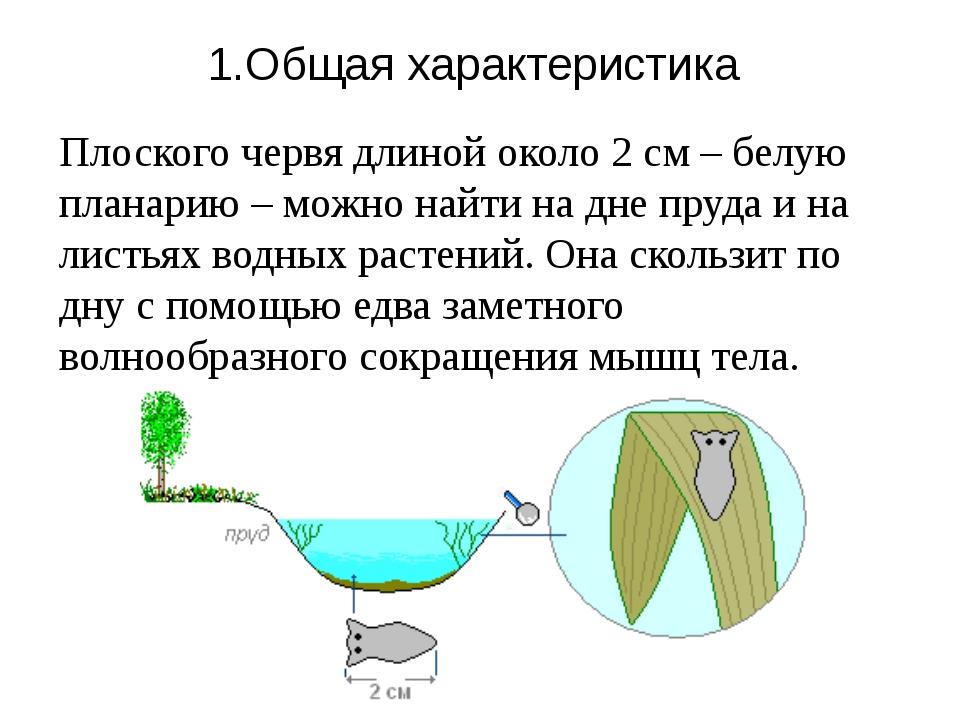 1.Общая характеристика Плоского червя длиной около 2см – белую планарию – мо...