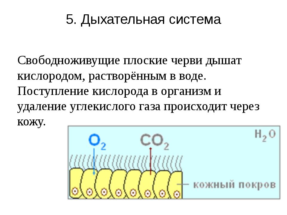5. Дыхательная система Свободноживущие плоские черви дышат кислородом, раство...