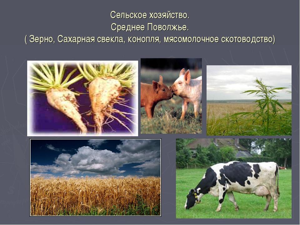 Сельское хозяйство. Среднее Поволжье. ( Зерно, Сахарная свекла, конопля, мясо...