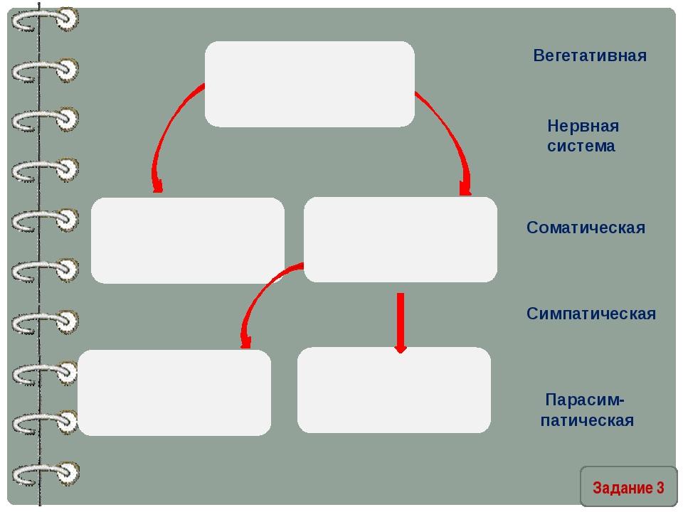 Задание 3 Вегетативная Нервная система Соматическая Симпатическая Парасим- п...