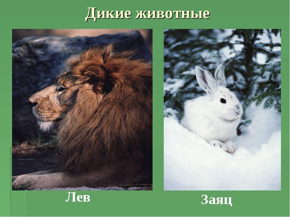 Дикие животные Заяц Лев