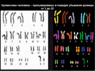 Хромосомы человека – пронумерованы в порядке убывания размера от 1 до 22