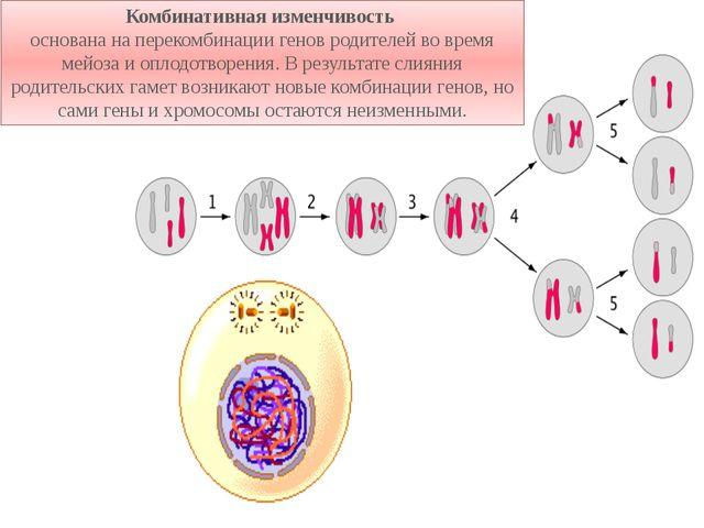 Комбинативная изменчивость основана на перекомбинации генов родителей во врем...