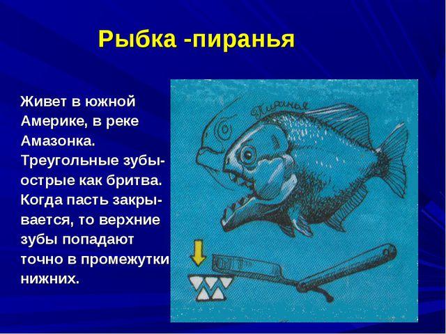 Рыбка -пиранья Живет в южной Америке, в реке Амазонка. Треугольные зубы- остр...