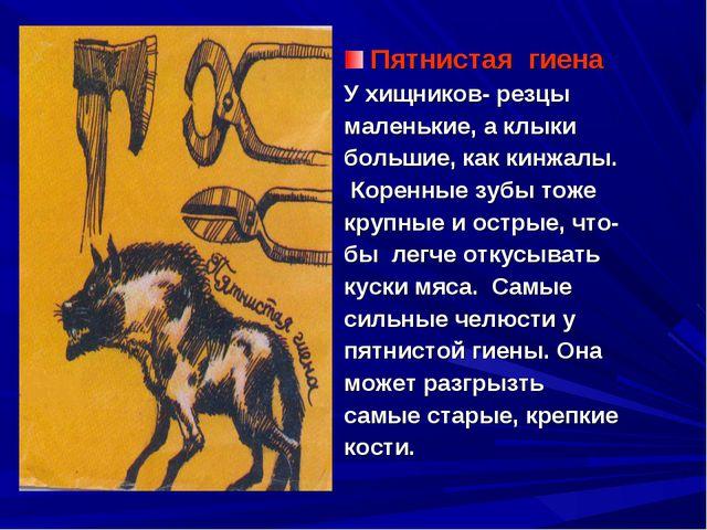 Пятнистая гиена У хищников- резцы маленькие, а клыки большие, как кинжалы. Ко...