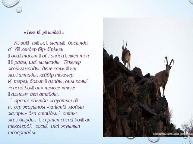 «Теке бұрқылдақ» Күздің аяғы, қыстың басында ақ бөкендер бір-бірімен қосақта...