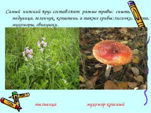 Самый нижний ярус составляют разные травы: сныть, медуница, зеленчук, копытен