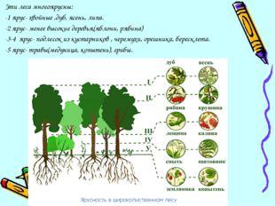 Эти леса многоярусны: -1 ярус- хвойные ,дуб, ясень, липа. -2 ярус- менее высо