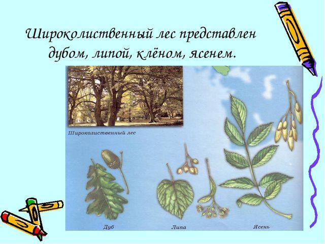 Широколиственный лес представлен дубом, липой, клёном, ясенем.