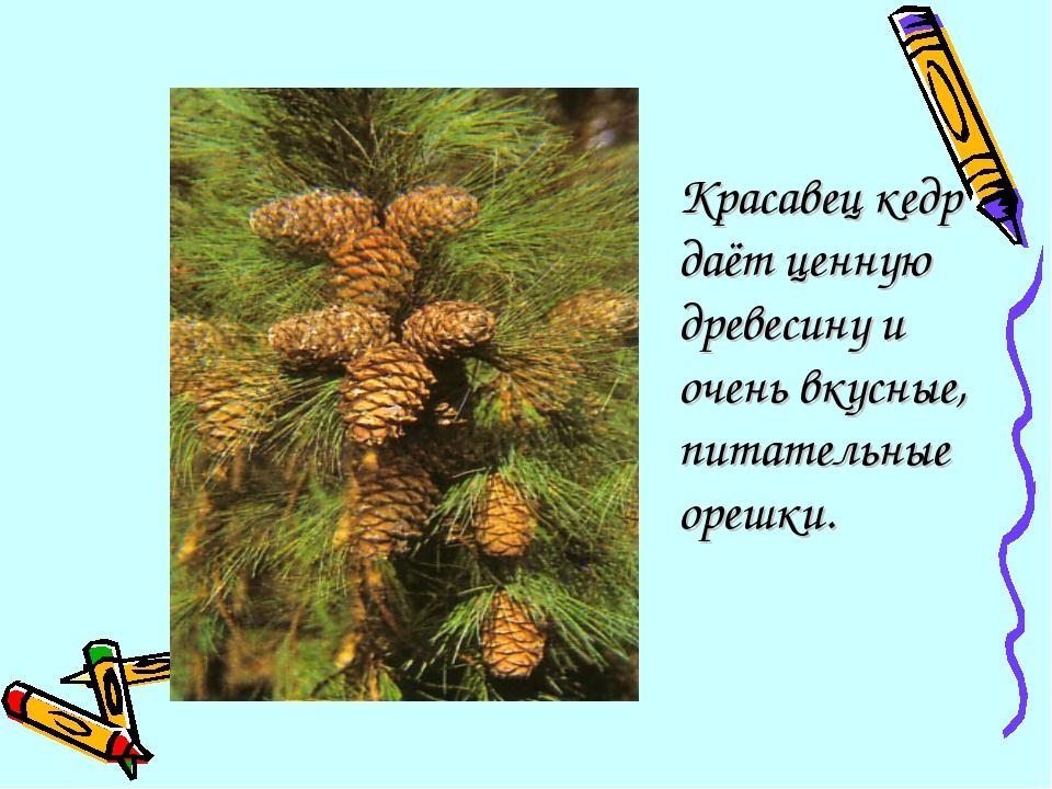 Красавец кедр даёт ценную древесину и очень вкусные, питательные орешки.