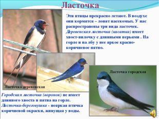 Ласточка Ласточка городская Ласточка деревенская Эти птицы прекрасно летают.