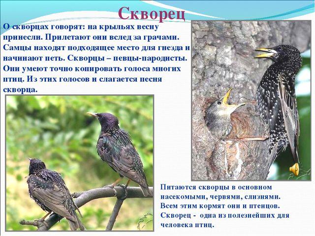 Скворец О скворцах говорят: на крыльях весну принесли. Прилетают они вслед за...