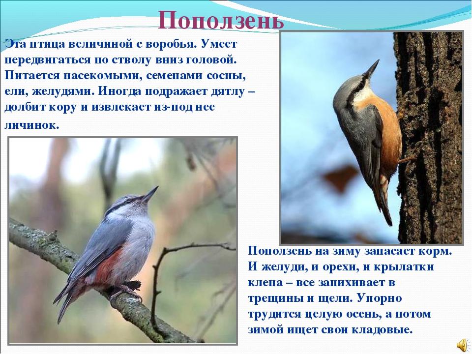 Поползень Эта птица величиной с воробья. Умеет передвигаться по стволу вниз г...