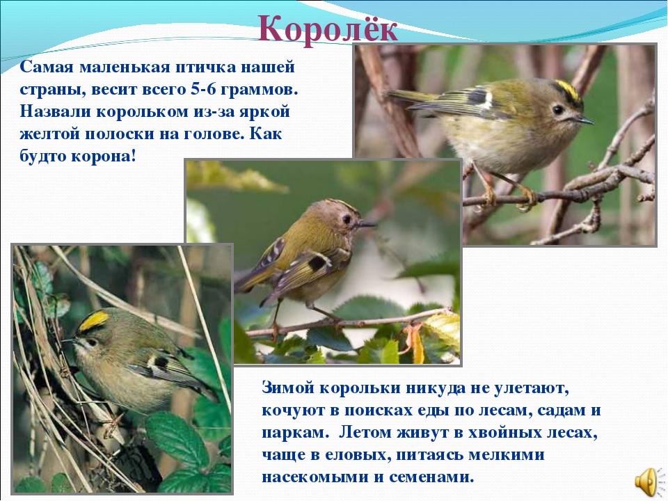 Королёк Самая маленькая птичка нашей страны, весит всего 5-6 граммов. Назвали...