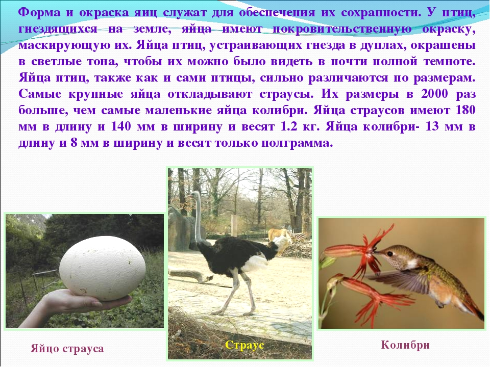 Форма и окраска яиц служат для обеспечения их сохранности. У птиц, гнездящихс...