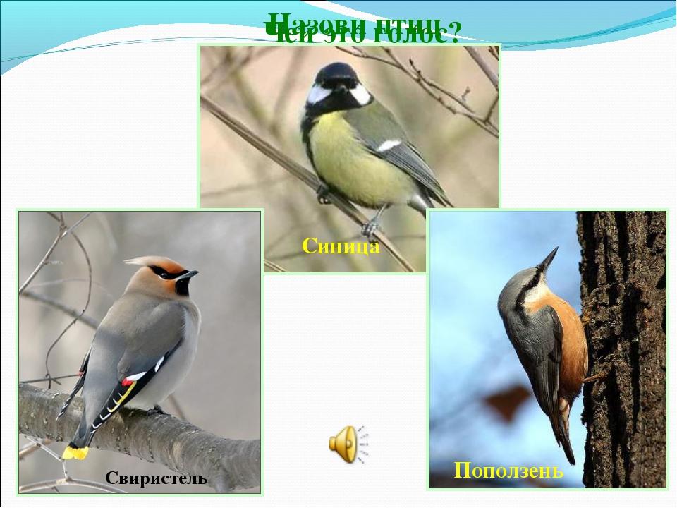 Чей это голос? Назови птиц Свиристель Поползень Синица