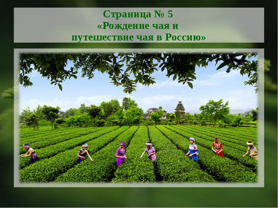 Страница № 5 «Рождение чая и путешествие чая в Россию»