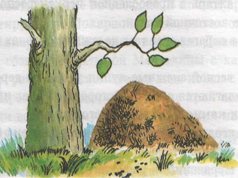 Ориентирование по пням и муравейникам Пни отдельно стоящих деревьев имеют кол...