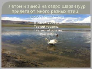 Летом и зимой на озеро Шара-Нуур прилетают много разных птиц.