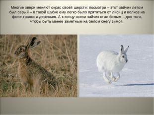Многие звери меняют окрас своей шерсти: посмотри – этот зайчик летом был серы