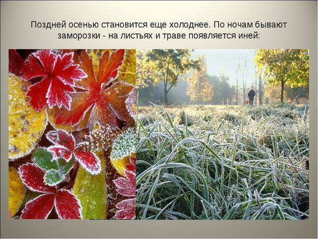 Поздней осенью становится еще холоднее. По ночам бывают заморозки - на листья...