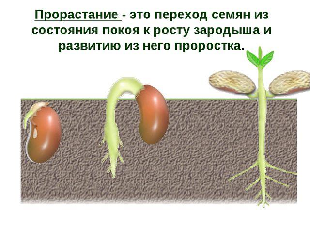 Прорастание - это переход семян из состояния покоя к росту зародыша и развити...