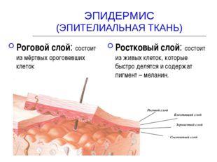 ЭПИДЕРМИС (ЭПИТЕЛИАЛЬНАЯ ТКАНЬ) Роговой слой: состоит из мёртвых ороговевших