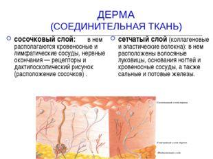 ДЕРМА (СОЕДИНИТЕЛЬНАЯ ТКАНЬ) сосочковый слой: в нем располагаются кровеносные